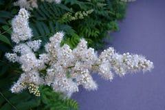 Kwiatonośny krzak w lecie Obraz Stock