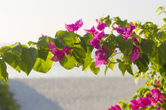 Kwiatonośny krzaka syarkimi kwitnie na zamazanym tle Fotografia Stock