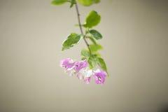 Kwiatonośny krzaka syarkimi kwitnie na zamazanym tle Zdjęcie Stock