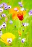 Kwiatonośny lato Medow Obraz Royalty Free
