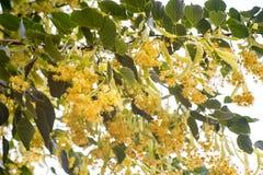 Kwiatonośny lipowego drzewa kwiat w zielonym makro- szczególe Obraz Stock