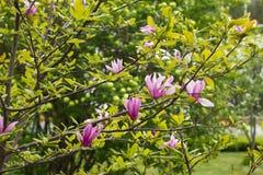 Kwiatonośny Magnoliowy Tulipanowy drzewo Obrazy Stock