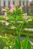 Kwiatonośny Nicotiana. zdjęcie royalty free