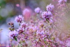 Kwiatonośny Oregano (Origanum vulgare) Fotografia Stock