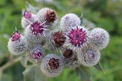 Kwiatonośny oset Fotografia Royalty Free