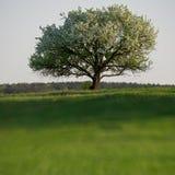 Kwiatonośny pojedynczy drzewo Obraz Royalty Free