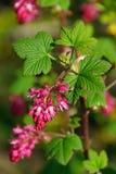 Kwiatonośny Rodzynek 05 Obraz Royalty Free