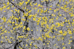 Kwiatonośnych dereni Cornus mas Obraz Stock