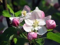 Kwiatonośna jabłoń Obraz Stock