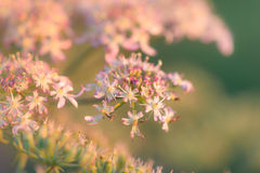 Kwiatonośna krowy pietruszki roślina Zdjęcia Royalty Free
