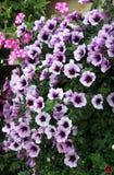Kwiatonośna petunia kwitnie z purpurami Fotografia Stock