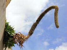 Kwiatostan łabędź szyi agawa, agawy attenuata Fotografia Stock