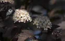 Kwiatostan biali kwiaty Obrazy Royalty Free