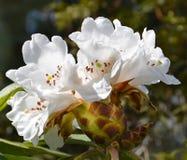 Kwiatostan biali kwiaty Obraz Royalty Free