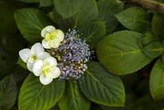 Kwiatostan hortensia hortensi macrophylla obrazy stock