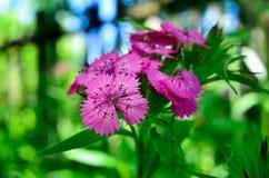 Kwiatostan mali goździki r w ogródzie Zdjęcia Stock
