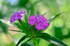 Kwiatostan mali goździki r w ogródzie Fotografia Royalty Free
