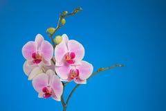 Kwiatostan motylia orchidea na błękitnym tle Zdjęcie Royalty Free