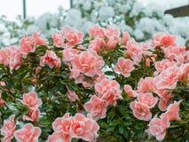 Kwiatostan uroczy kwiat różanecznik Zdjęcie Stock