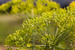 Kwiatostanu koper Ogrodniczy fotografia royalty free