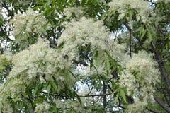 Kwiatostany manna popiół obraz stock