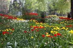 Kwiatu łóżka tulipany Obrazy Royalty Free