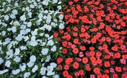 Kwiatu łóżko czerwoni i biali impatiens w pełnym kwiacie obrazy royalty free