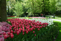 Kwiatu łóżko czerwoni i biali tulipany w cieniu drzewa w Zdjęcia Royalty Free
