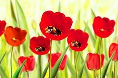 Kwiatu łóżko Czerwoni tulipany Zdjęcia Stock