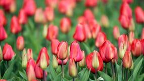 Kwiatu łóżko Czerwoni tulipany Fotografia Stock