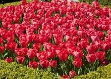 Kwiatu łóżko Czerwoni tulipany Obrazy Royalty Free