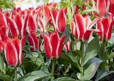 Kwiatu łóżko Czerwoni tulipany Fotografia Royalty Free