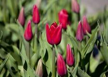 Kwiatu łóżko Czerwoni tulipany Obraz Royalty Free