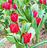Kwiatu łóżko czerwoni tulipany na dnia czasie Fotografia Stock