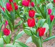 Kwiatu łóżko czerwoni tulipany na dnia czasie Obraz Royalty Free