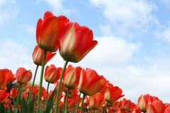 Kwiatu łóżko czerwoni tulipany przeciw niebieskiemu niebu Zdjęcia Stock