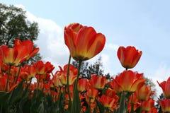 Kwiatu łóżko czerwoni tulipany przeciw niebieskiemu niebu Zdjęcie Royalty Free