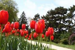Kwiatu łóżko czerwoni tulipany przy ogrodową ścieżką Fotografia Royalty Free