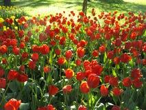 Kwiatu łóżko czerwoni tulipany w świetle słonecznym Obraz Royalty Free