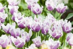 Kwiatu łóżko purpurowi tulipany Zdjęcia Stock