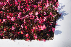 Kwiatu łóżko szarzy i czerwoni kolory Obrazy Stock