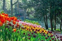 Kwiatu łóżko tulipany w ogródzie. Fotografia Royalty Free