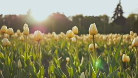 Kwiatu łóżko tulipany w parku w wieczór przy zmierzchem w słońcu Strzelać w delikatnym i pięknym ruchu zbiory wideo