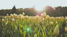 Kwiatu łóżko tulipany w parku w wieczór przy zmierzchem w słońcu Strzelać w delikatnym i pięknym ruchu zdjęcie wideo