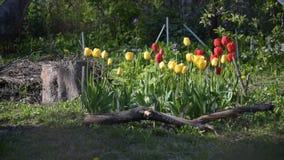 Kwiatu łóżko z czerwienią, żółtymi tulipanów kwiatami i zieloną trawą, zdjęcie wideo