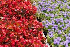Kwiatu łóżko z kwitnącym Ageratum houstonianum Obraz Stock