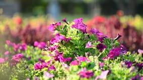 Kwiatu łóżko z różowymi petuniami zbiory wideo