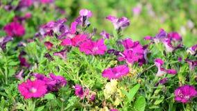 Kwiatu łóżko z różowymi petuniami zdjęcie wideo