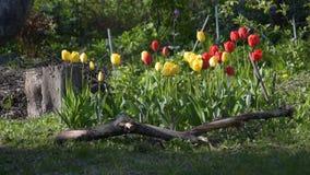 Kwiatu łóżko z tulipanem kwitnie podczas wiosny zbiory wideo