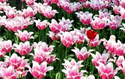 kwiatu łóżkowy tulipan Zdjęcia Stock